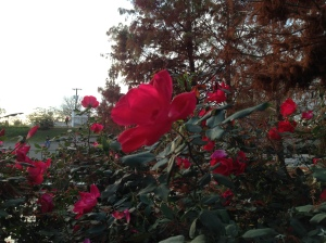 In the dead of winter, a rose...