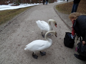 An intrepid traveler(not me) feeds these assertive swans.