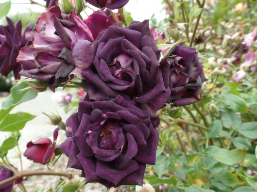 Never saw a purple rose before...